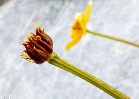 Caltha palustris - populage des marais