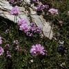 Armérie des Alpes (Armeria alpina)