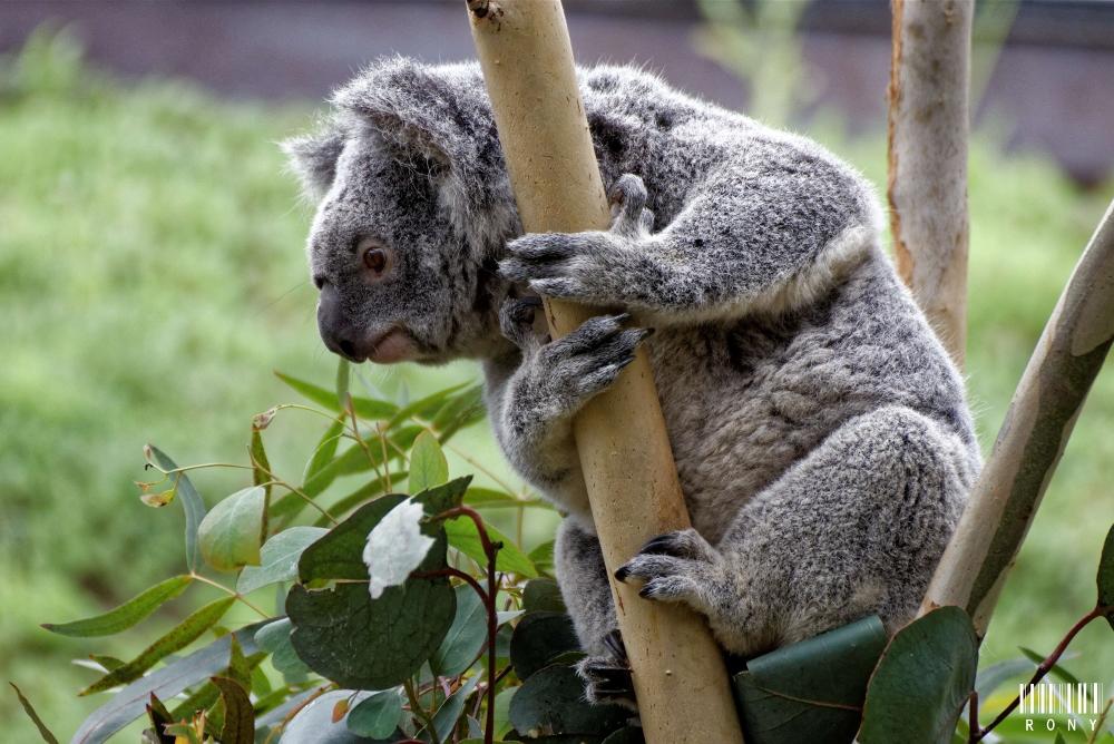 Koala Part.1