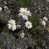 Leucanthème ou Marguerite des Alpes (Leucanthemopsis alpina)