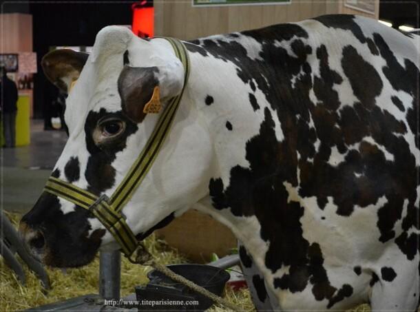 Vache normande 3