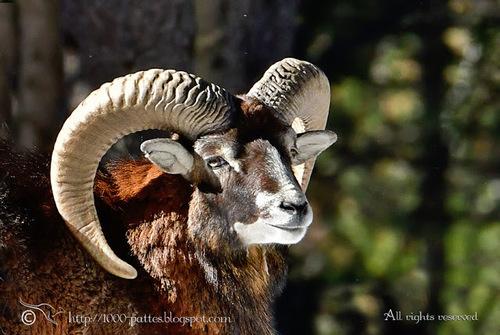 Mouflon :
