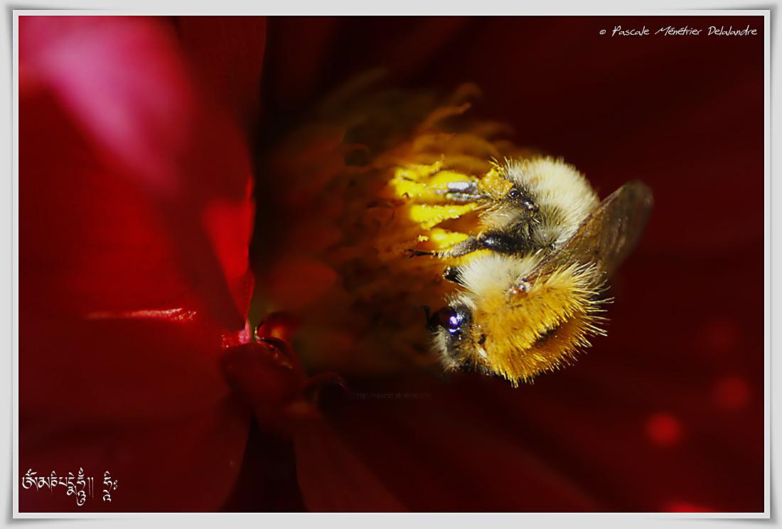 Bourdon des champs ♀ (Bombus pascorum)