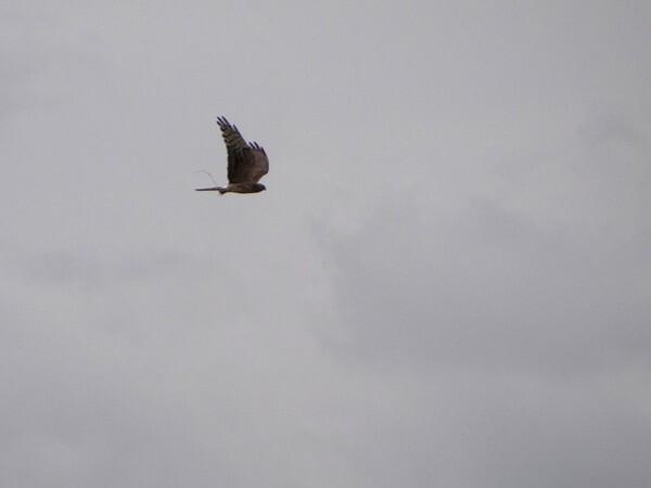 busard cendre femelle 1 07 2012