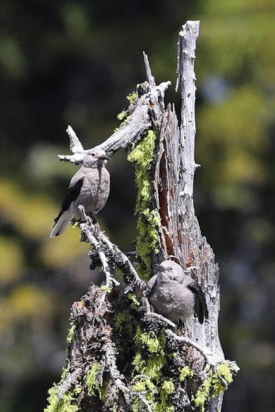 Les Cassenoix d'Amérique - Crater Lake