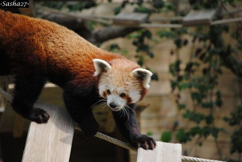 Panda Roux ♂.