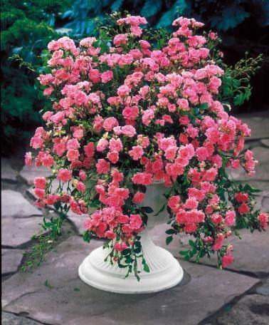 un rosier retombant dans mon jardin le jardin de jean marie. Black Bedroom Furniture Sets. Home Design Ideas
