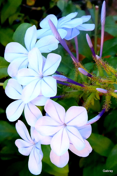 Mes plumbagos: fleurs bleues!