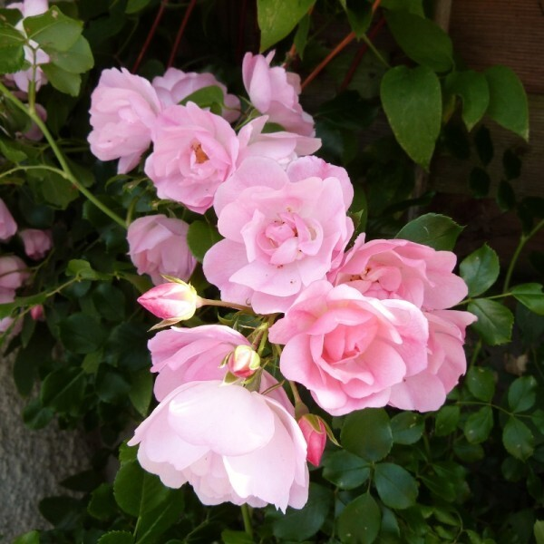 rosier-mareva---juin-2014---bouquet-de-fleurettes--800x800-.jpg