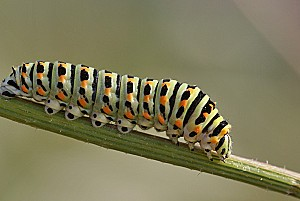 machaon-chenille_2.jpg