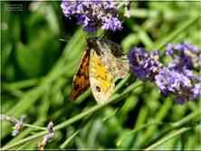 Le Satyre femelle la Mégère Lasommiata megera Nymphalidae