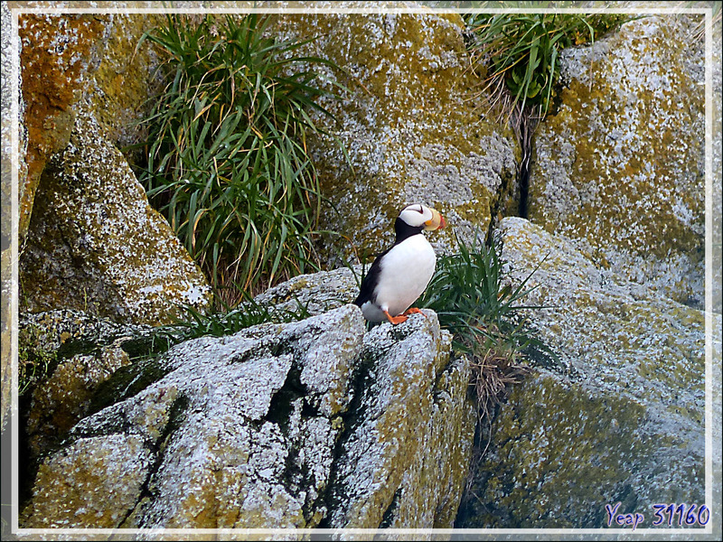 Macareux moine, Atlantic Puffin (Fratercula arctica) - Ukivok - King Island (Ugiuvak) - Détroit de Béring - Alaska