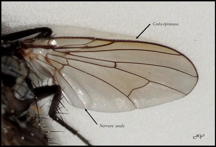 Eustalomyia hilaris.