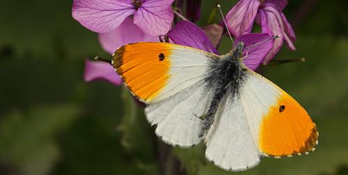 Les papillons s'invitent aux mots du mardredi.