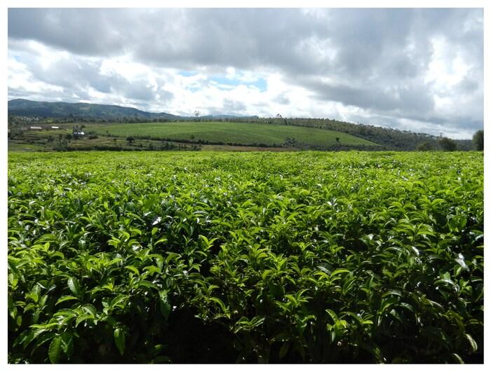 LE thé de Madagascar