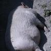 Gros porc sauvage