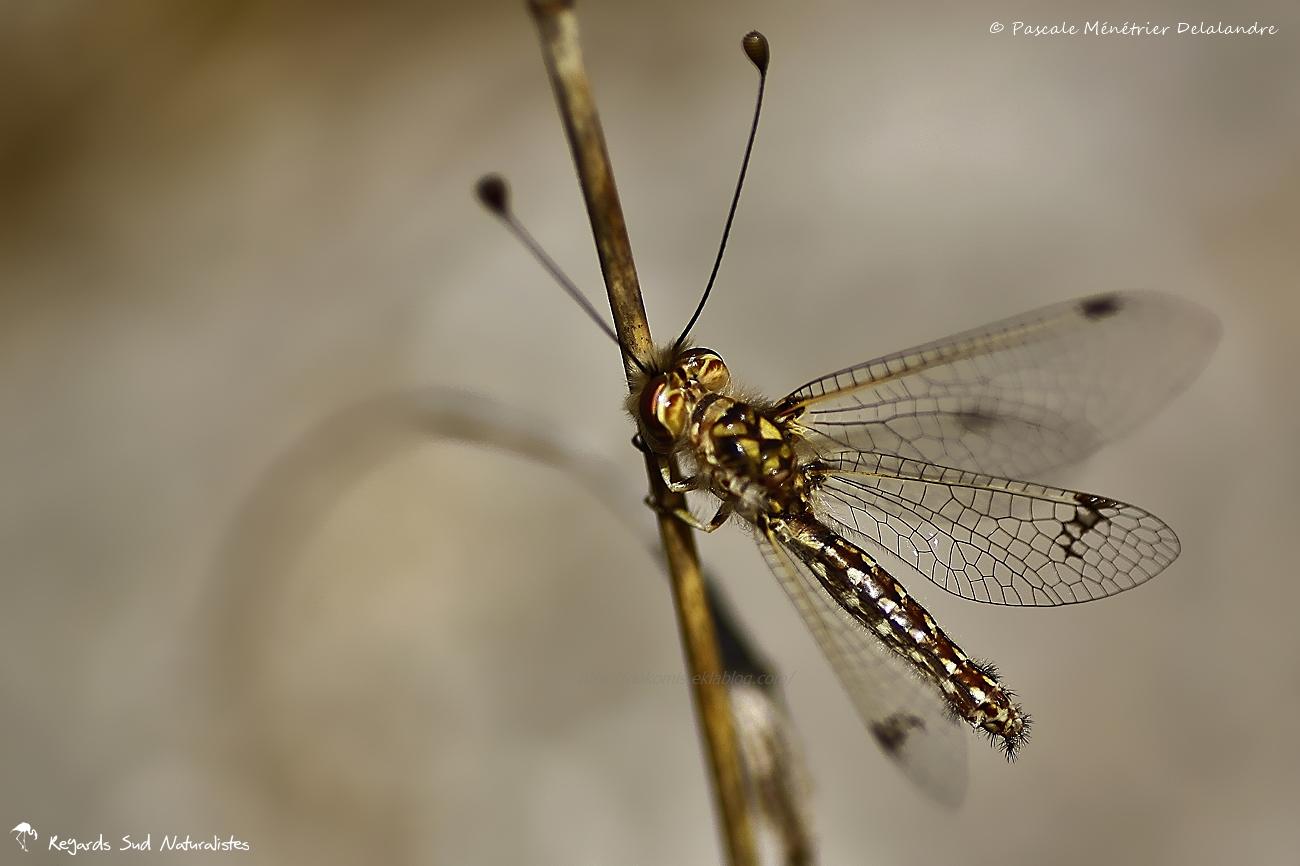 Ascalaphon du midi  ♀ - Deleproctophylla dusmetis