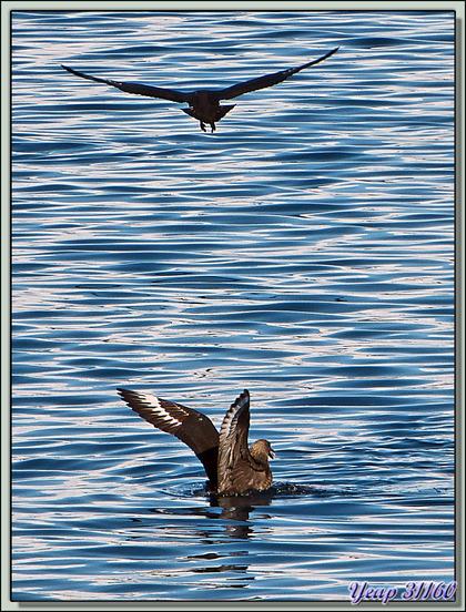Paradise Bay: des labbes (skuas) se disputent les restes du repas des orques - Péninsule Antarctique