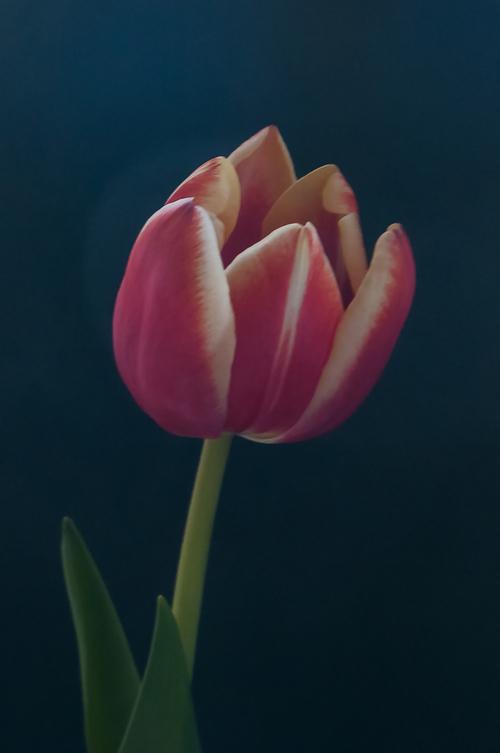 tulipe une couleur dans mon ciel gris