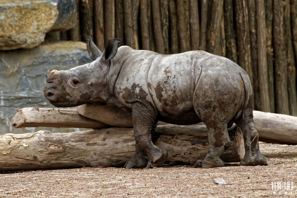 Eléonore et son petit rhinocéros blanc Sethemba (part.1)