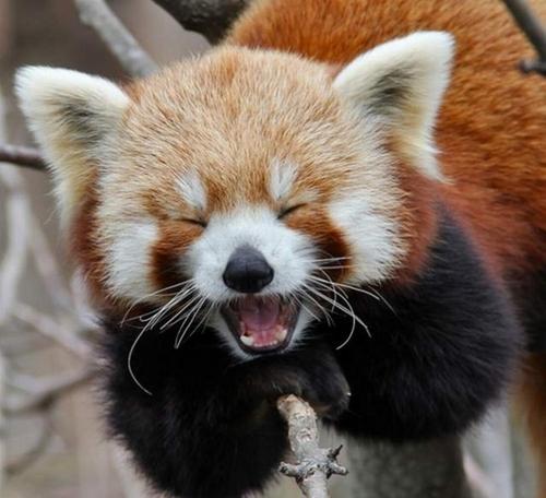 panda roux qui baille