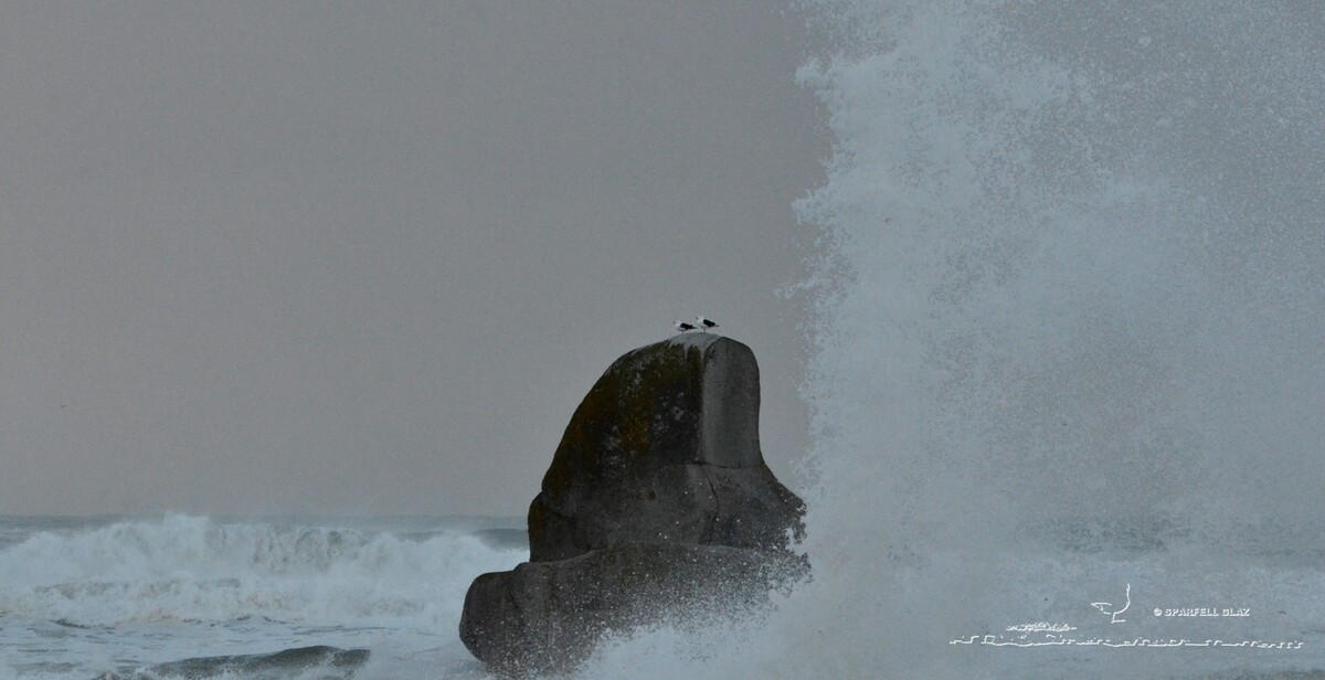 326 - Goéland marin