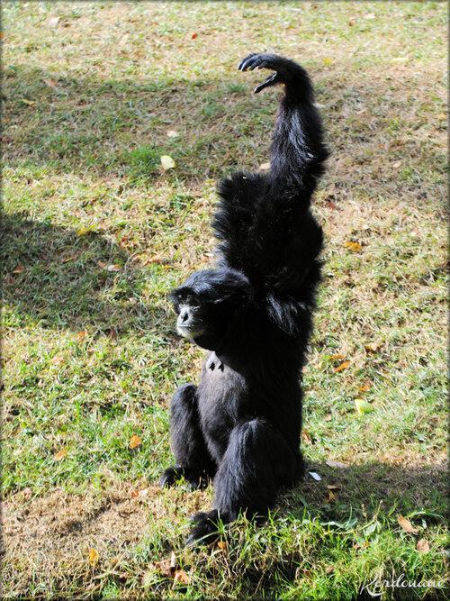 Gibbons Siamang (Zoo de Doué la Fontaine)