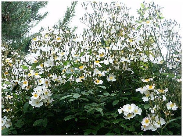 petite-rose-blancet-jaune-copie-1.jpg