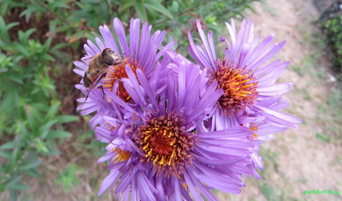 un papillon sur mes asters