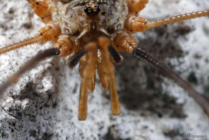 Opilion mâle