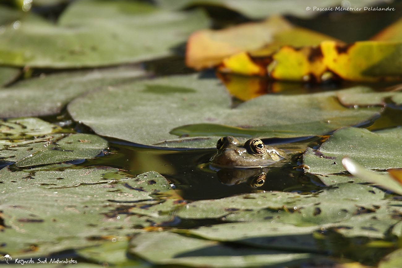 "Grenouille - Le ""Tamonster"" - Tamron Objectif SP 150-600 mm F/5-6,3 Di VC USD"