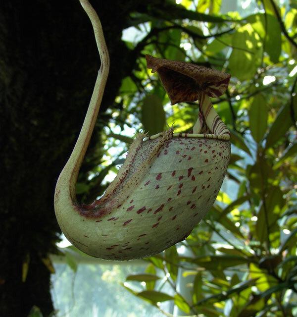 Nepenthes rafflesiana . Plante carnivore