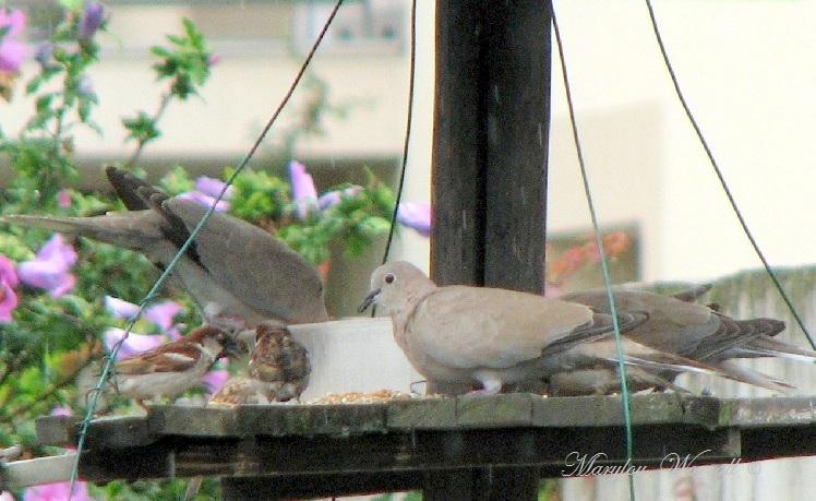Ingersheim : La mangeoire aux oiseaux