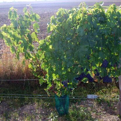 Vigne - Raisins rouges - Fin Aout