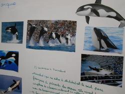 Exposé sur l'orque