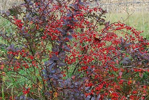 Berberis-thunbergii-atropurpurea---fruits.jpg