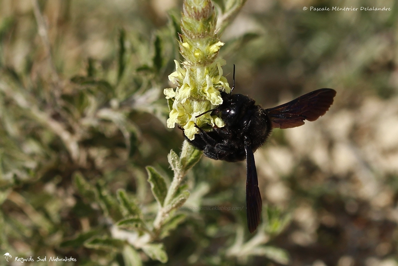 Abeille charpentière ou Xylocope (Xylocopa violacea )
