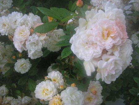 fleurs_jardin_mai_2008_010