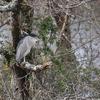 Bihoreau gris (Le Teich 24 février 2015 © Jaime Crespo)