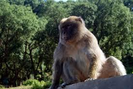 Le Pic des singes