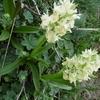 Orchis sureau (Dactylorhiza sambucina) jaune