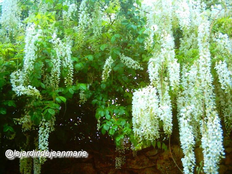 GLYCINE BLANCHE DU JAPON Wisteria floribunda 'Alba' Famille: Légumineuses LA PLUS BELLE DES FLORAISONS BLANCHES