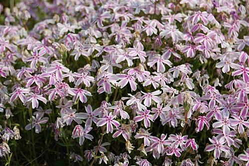 Phlox subulata rose et blanc