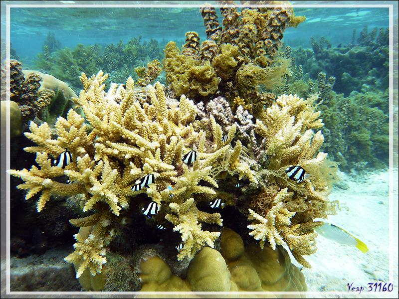 Corail Acropore bois de cerf, Formosa staghorn coral (Acropora formosa) - Jardin de Corail - Motu Tautau - Taha'a - Polynésie française