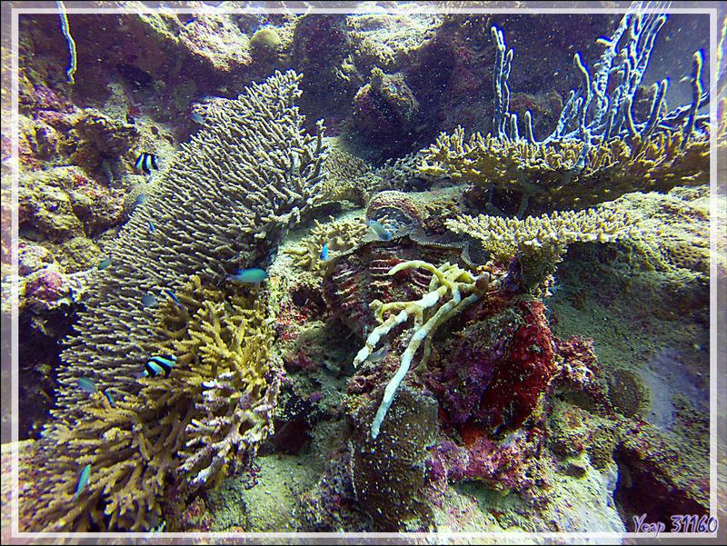 Coraux, Demoiselles à trois bandes, Chromis, Bénitier - Nosy Mitsio - Madagascar