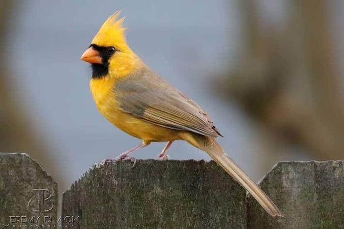 Un cardinal jaune extrêmement rare repéré au Backyard Feeder en Alabama