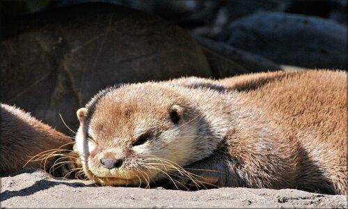 Photo de loutre du zoo de Pessac (Gironde)