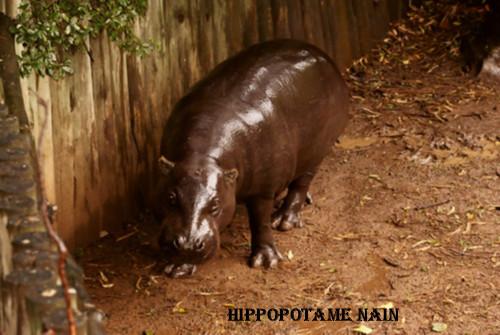 L'hippopotame nain