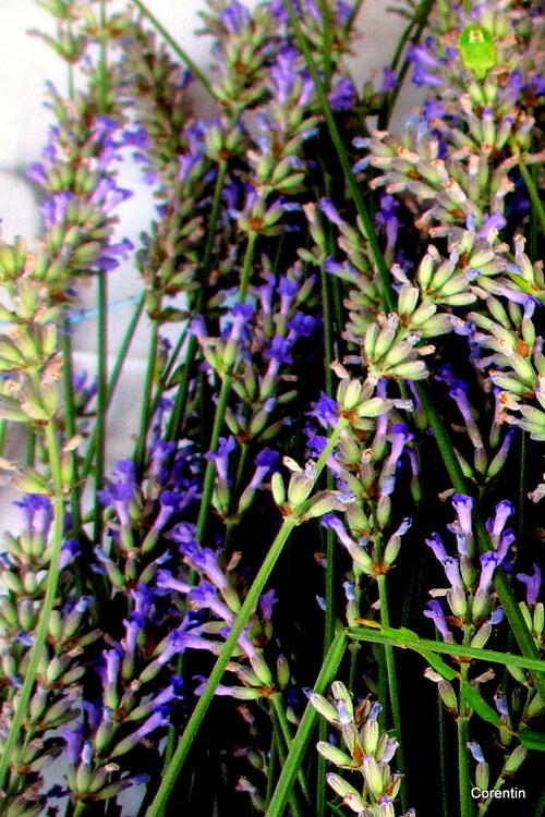 Les fleurs de lavande