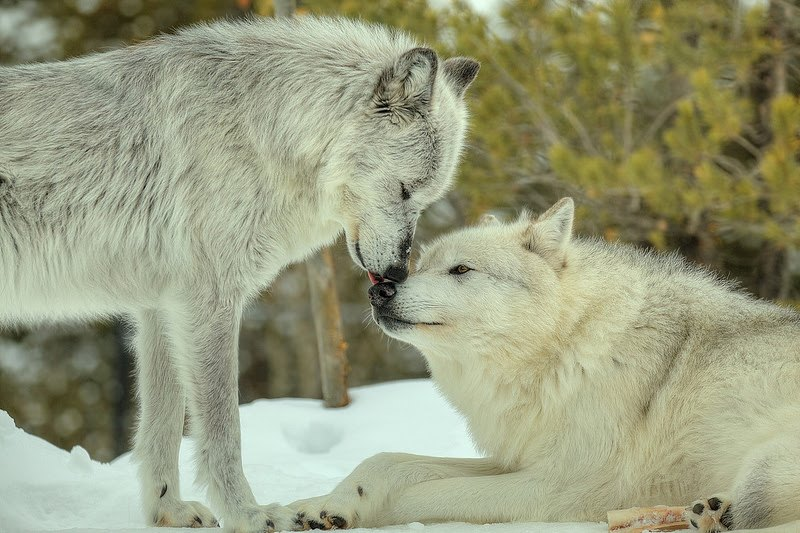Le Loup,Un Animal fascinant ღ